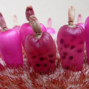 Melocactus sp. (fruits)
